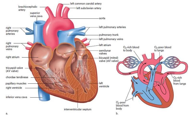 Your heart (the normal heart) - Premier Heart Care Ltd.